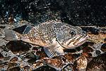 blackbelly rosefish, sitting on bottom, full body view facing right