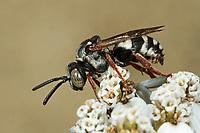 Filzbiene, Epeolus spec., variegated cuckoo-bee, Filzbienen