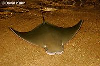 0130-08ss  Cownose ray, Rhinoptera bonasus © David Kuhn/Dwight Kuhn Photography