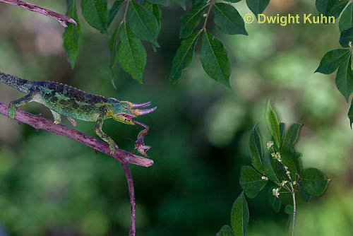 CH34-530z  Male Jackson's Chameleon or Three-horned Chameleon tongue flicking to catch insect prey, Chamaeleo jacksonii