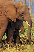 African Elephant cow and calf.  Africa.
