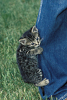 Gray tabby kitten hanging on for dear life onto a pair of jeans pants legs, Missouri USA