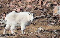 We saw mountain goats both in Golden Gate and on the Beartooth Highway during these trips.