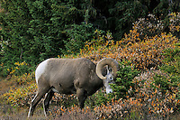 Bighorn Sheep Ram (Ovis canadensis) rubbing horns on stunted subalpine tree.  Northern Rockies.  Fall.