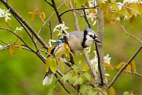 Blue Jay (Cyanocitta cristata) in flowering serviceberry bush.  Great Lakes Region.  May.