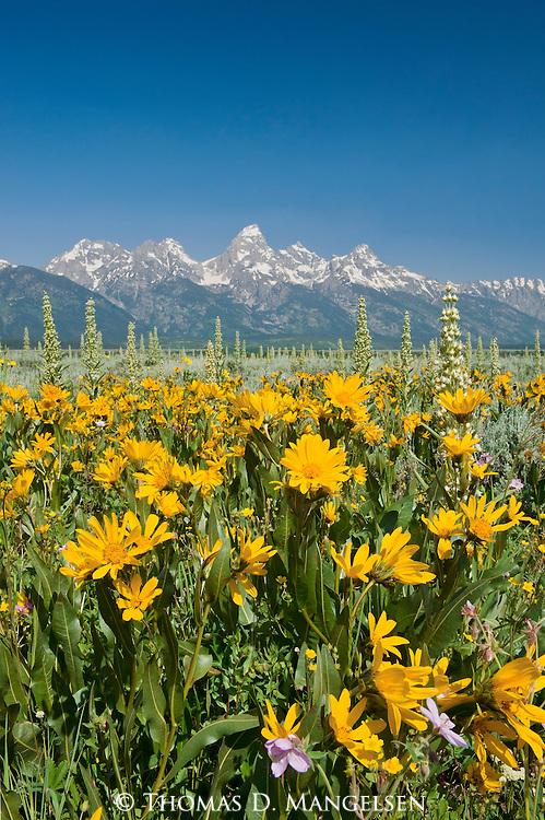 Mule's ears bloom in the sagebrush flats below the Teton Range in Grand Teton National Park, Wyoming.
