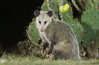 Virginia Opossum, Didelphis virginiana, adult at night next to Texas Prickly Pear Cactus (Opuntia lindheimeri), Uvalde County, Hill Country, Texas, USA