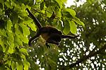 Mantled Howler Monkey (Mono Congo)