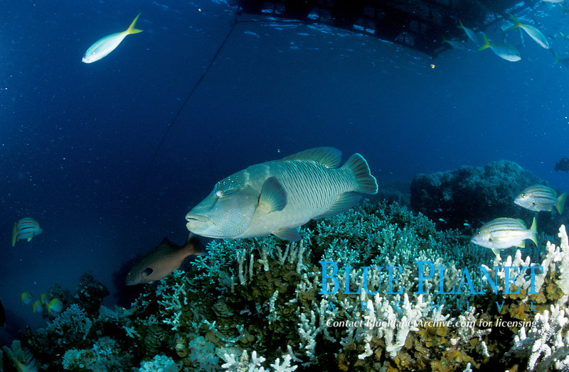 Seascape Humphead wrasse fish on coral reel