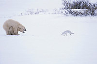 Polar bear mother protecting cub and chasing off arctic fox.  Fox is no threat--follows bears looking for food scraps.