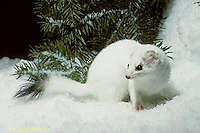 MA06-111x  Short-Tailed Weasel - exploring forest for prey in winter, camouflagued - Mustela erminea