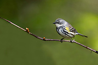 Yellow-rumped Warbler (Setophaga coronata coronata), Myrtle subspecies, female in breeding plumage foraging during migration at Doodletown, Bear Mountain State Park, New York.