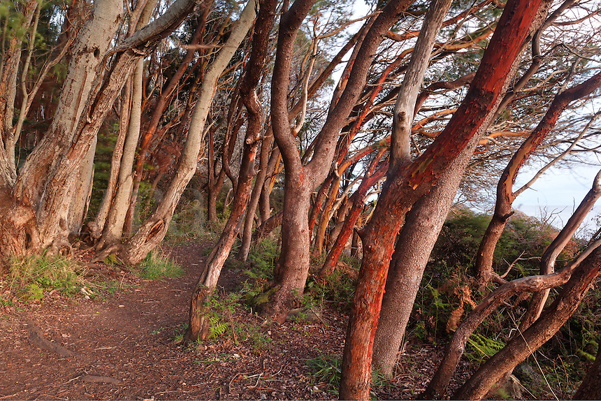 Trail through grove of Pacific Madrone, Lime Kiln Point State Park, San Juan Island, Washington, USA