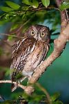 Madagascar Torotoroka Scops Owl (Otus rutilus) in forest canopy. Ankarana Reserve, northern Madagascar.