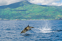 short-beaked common dolphins Delphinus delphis Pico Island, Azores Islands, North Atlantic Ocean
