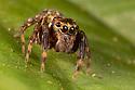 Jumping Spider (Salticidae), Danum Valley, Sabah, Borneo. June.