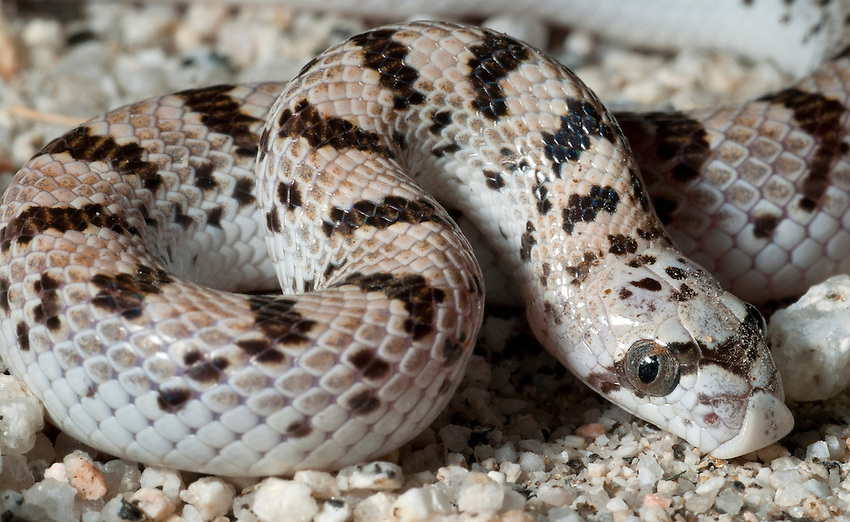 """Spotted Leaf-Nosed Snake Phyllorhynchus decurtatus.Feeds on banded geckos and their eggs..""""Secretive - at one time thought to be very rare, until Laurence Klauber discovered that they were common after finding them on paved desert roads at night in 1922."""".I find them that way too. Very common, but exclusively nocturnal."""