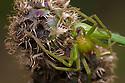 Green Huntsman Spider male (Micrommata virescens). Nordtirol, Austrian Alps. June.