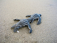 leatherback sea turtle hatchlings, Dermochelys coriacea, running to the sea, Dominica, Caribbean, Atlantic Ocean