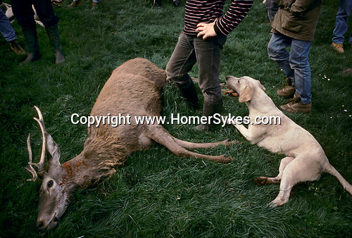 Quantock Staghounds, Quantock Hills Somerset and Exmoor The Quarry will be disembowelled, entrails fed to the hounds horn. 1990s UK. 1997