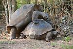 Two Galapagos giant tortoise mate in the Galapagos Islands, Ecuador.