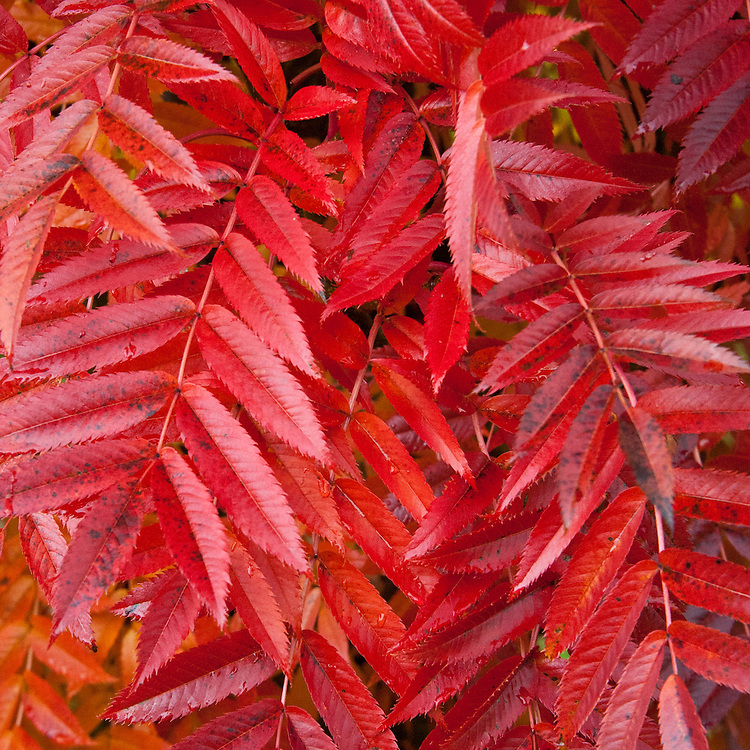 Sorbus commixta, commonly known as Japanese rowan, late October.
