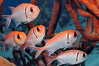 Blackbar soldierfish seeking protection in sponge colony, Bonaire, Netherlands Antilles, Caribbean, Atlantic