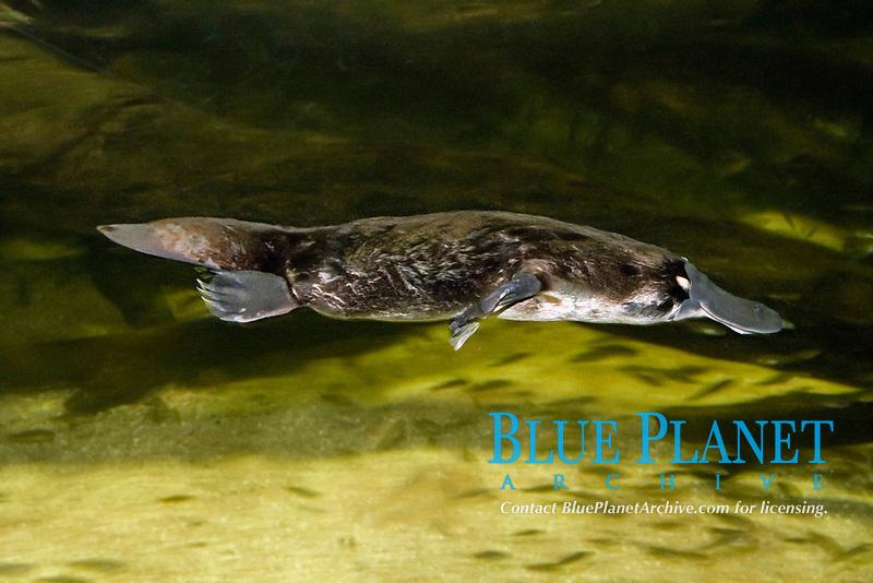 platypus, Ornithorhynchus anatinus, Australia.