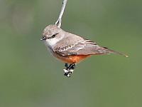 Female Vermillion Flycatcher, South Llano River State Park, TX