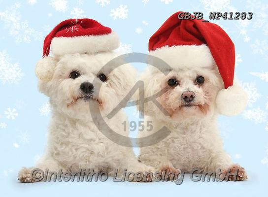 Kim, CHRISTMAS ANIMALS, WEIHNACHTEN TIERE, NAVIDAD ANIMALES, photos+++++,GBJBWP41283,#xa#