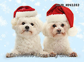 Kim, CHRISTMAS ANIMALS, WEIHNACHTEN TIERE, NAVIDAD ANIMALES, photos+++++,GBJBWP41283,#xa#