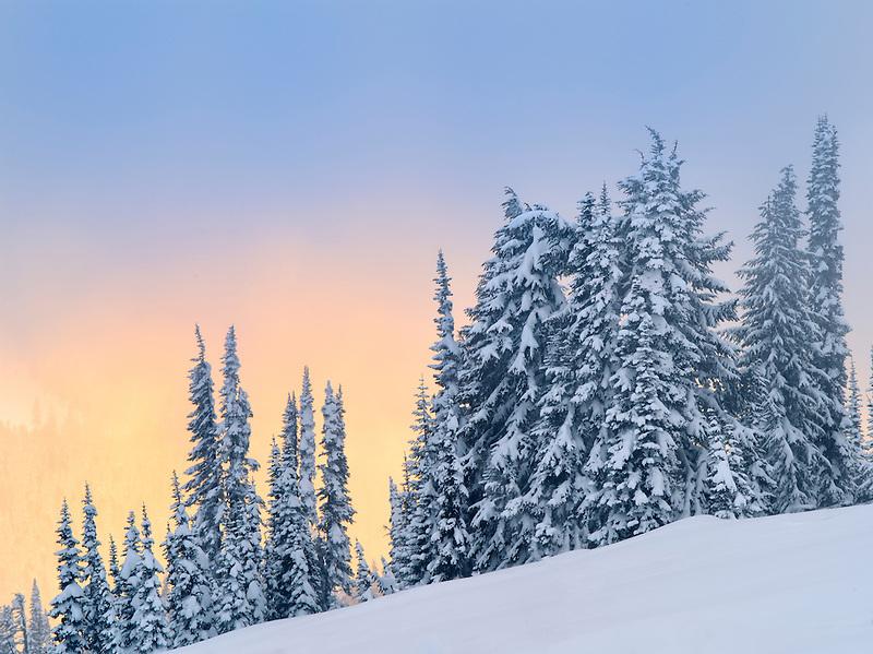 Snow on trees with sunset color. Mt. Rainier National Park, Washington