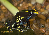 1023-07qq  Dendrobates tinctorius ñ Dyeing Poison Arrow Frog ñ Tincs Dart Frog © David Kuhn/Dwight Kuhn Photography