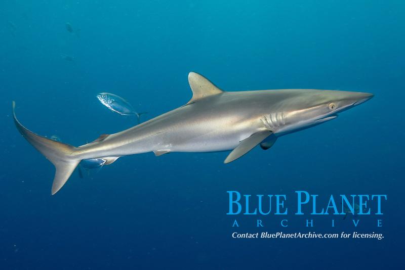 silky shark, Carcharhinus falciformis, Galveston, Texas, USA, Gulf of Mexico, Atlantic Ocean