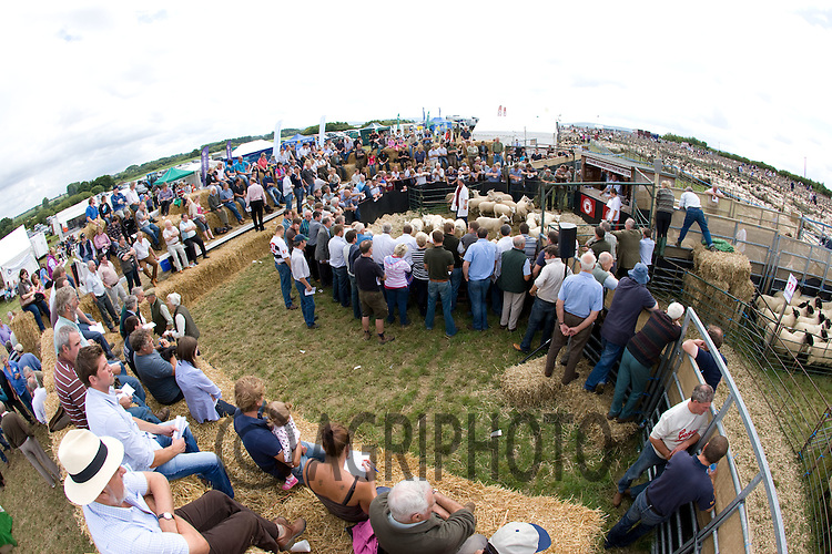 Over Twenty Thousand Theaves,Double,Theaves,.Ewes,Ewe Lambs and Store Lambs penned at the 9th Annual Thame with Bicester Summer Sheep Fair held at Thame Show Ground..Picture Tim Scrivener date taken 5th August  2011 .mobile 07850 303986 e-mail tim@agriphoto.com.....covering Agriculture in The United Kingdom.....