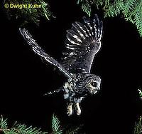 OW07-117z  Saw-whet owl - flying - Aegolius acadicus