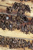 Vale vleermuis (Myotis myotisi) zomerkolonie, Slowakije