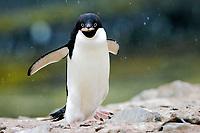 Adult Adelie Penguin, Pygoscelis adeliae, stealing rocks for a nest near the Antarctic Peninsula.