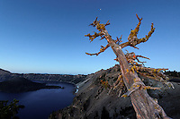 Old dead whitebark pin tree snag stands overlooking Crater Lake at dawn, Crater Lake National Park, Oregon, USA, North America