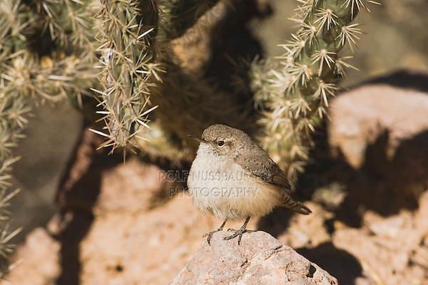 Rock Wren (Salpinctes obsoletus),adult, Bosque del Apache National Wildlife Refuge , New Mexico, USA