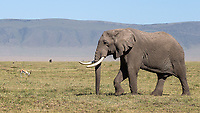 """Ngorongoro Crater is home to some of the world's remaining """"big tuskers."""""""
