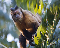 We had a nice encounter with Tufted capuchins at Cristalino Lodge in the Brazilian Amazon.