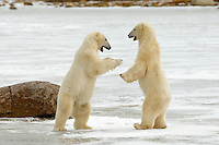 Shall we spar or shall we dance are the only decisions these two polar bears will need to make until hunting for seal is possible.