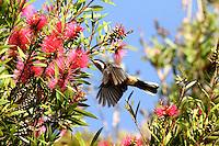 Eastern Spinebill on Bottlebrush Flowers in Lamington National Park, Queensland