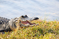 """Welcome to the Florida Everglades.  My """"flagship"""" picture and, therefore, the name Gatorsnapper!"""