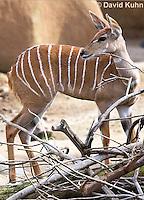 0529-1101  Lesser Kudu, Tragelaphus imberbis  © David Kuhn/Dwight Kuhn Photography