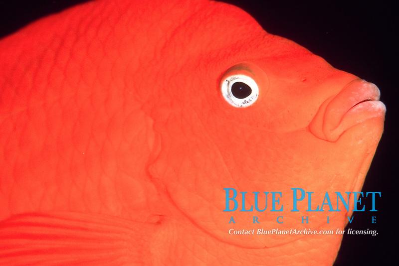 garibaldi, Hypsypops rubycundas, Channel Islands Marine Sanctuary, California, USA, Pacific Ocean
