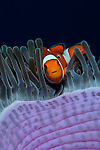 False clown anemonefish, Amphiprion ocellaris, in a magnificent anemone, Heteractis magnifica, Bali, Indonesia, Pacific Ocean