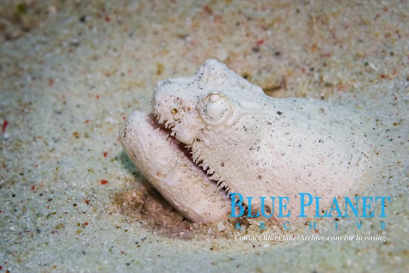 Crocodile snake eel camouflaged, waiting for prey, Brachysomophus crocodilinus, Malapascua, Cebu, Philippines, Pacific Ocean