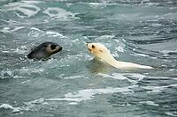 Antarctic fur seal, Arctocephalus gazella, aka Kerguelen fur seal, rare, leucistic pup, playing in the surf, with normally dark-cokored pup, Fortuna Bay, South Georgia, Atlantic Ocean
